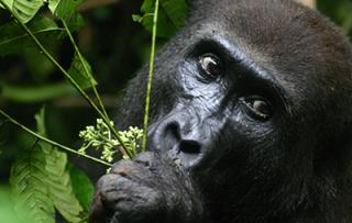 Mekome, a female western lowland gorilla (Photo by Roberta Salmi)